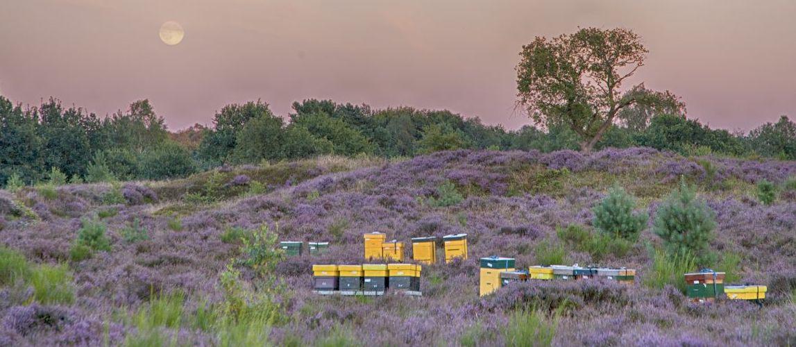 Op-de-heide-staan-bijenkasten-vol-natuurhoning